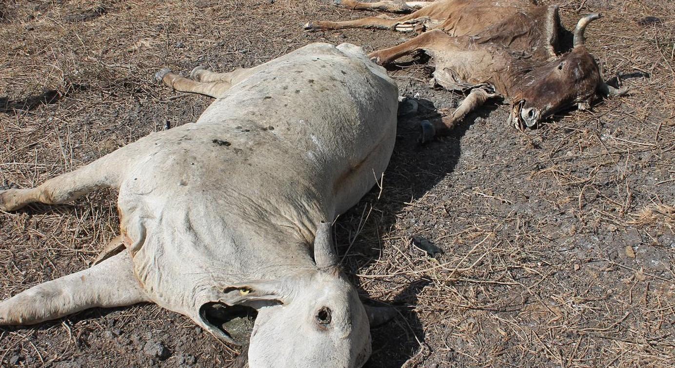 Mas de 100 mil cabezas de ganado se perderán este año según veterinario