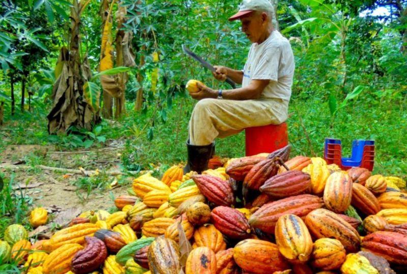 """Productores desean exportar 500 toneladas de Cacao """"Calidad A»"""