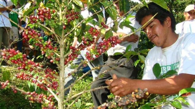 Ihcafé: 254 mil quintales de fertilizante reciben caficultores