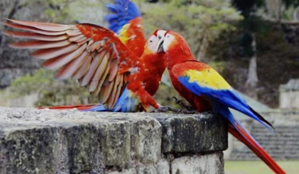 Mañana finaliza el Guacamaya Fest Virtual, en Copán Ruinas
