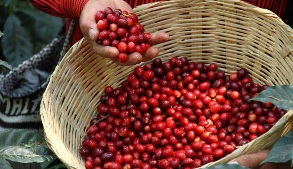Se habilita un 90% de los accesos cafetaleros por lo que se asegura la presente cosecha