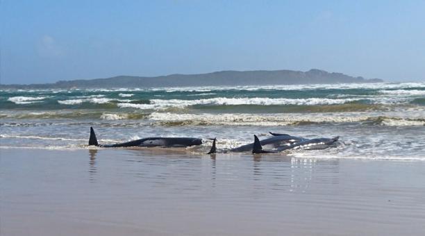 Cientos de ballenas están varadas en el sur de Australia