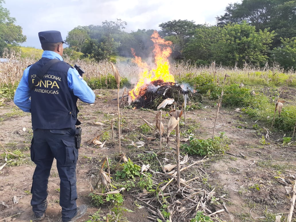 Erradican e incineran más de dos manzanas de plantación de marihuana en El Porvenir, FM