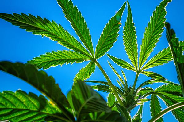 ¿Dónde es legal la Marihuana?