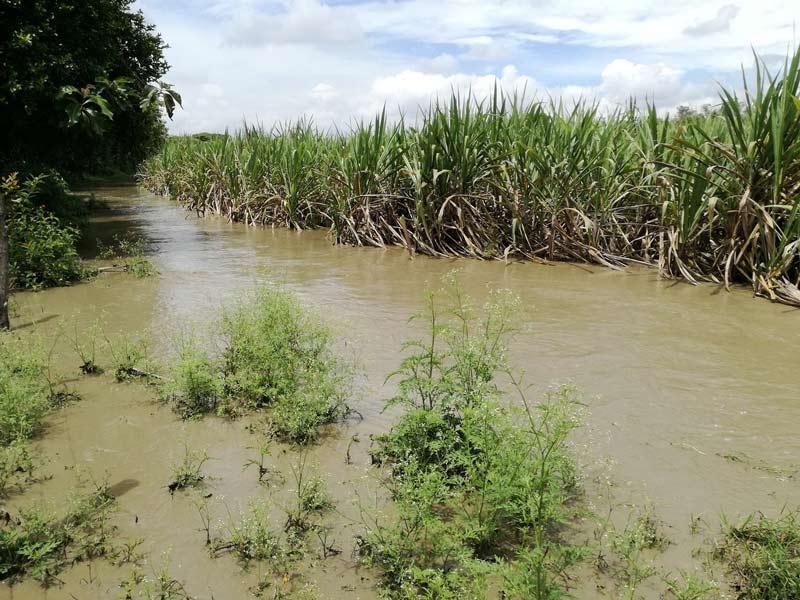 11,500 hectáreas de azúcar están inundadas, informa Presidenta de Fenagh