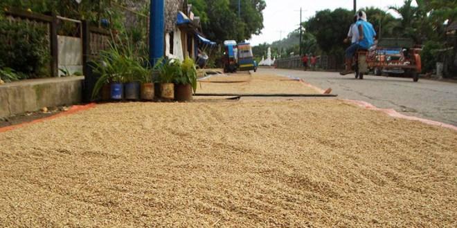 En Colón: 4,440 manzanas de arroz están listas para cosechar