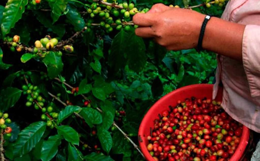 En primer trimestre: $ 60 millones en divisas lleva exportación de café