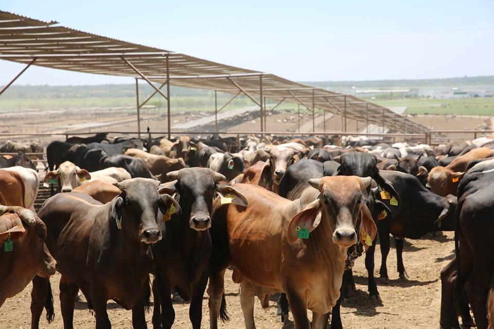 SAG destina L 54 millones para engordar toros