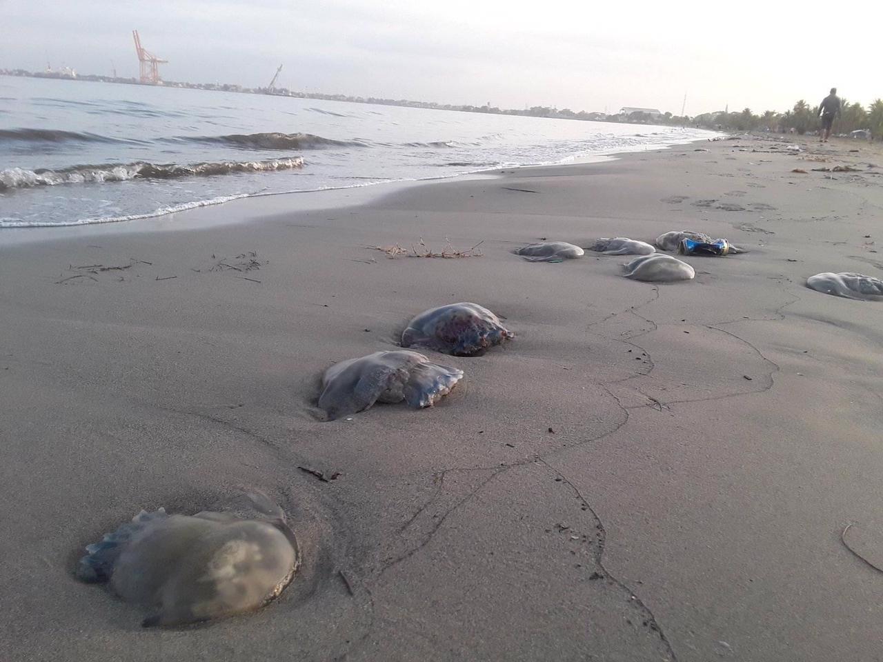 Autoridades investigan muerte de medusas encontradas en playa de Puerto Cortés