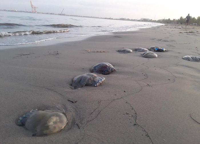Ambientalistas investigaran muerte de medusas en playa de Puerto Cortés