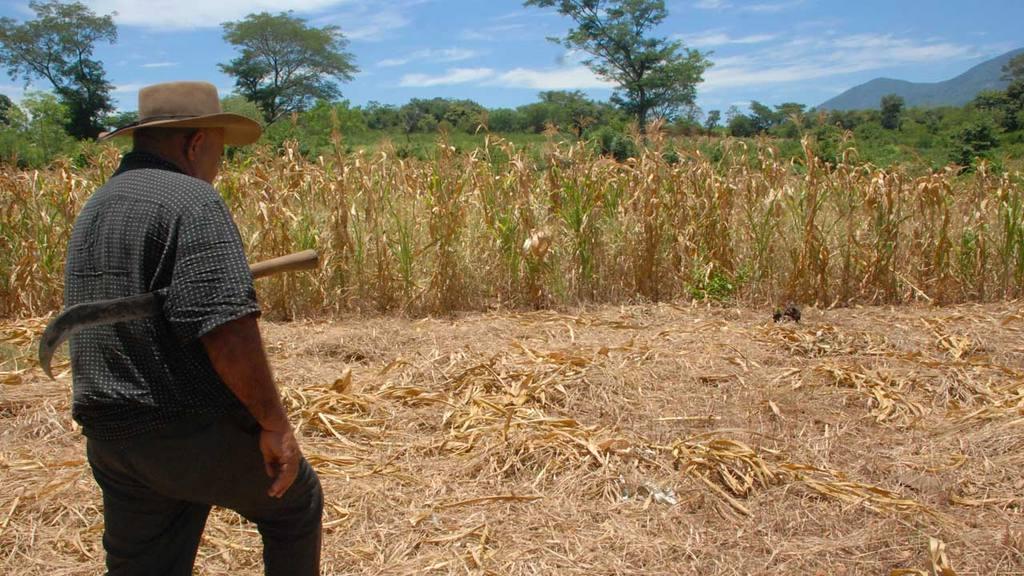 Productores preocupados porque la cosecha de primera está amenazada por falta de lluvias